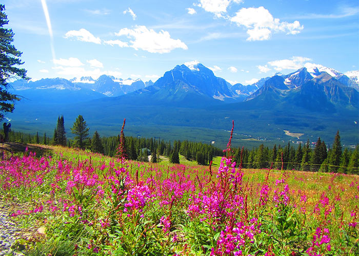fireweed growing in alpine meadows at Lake Louise Resort in summer