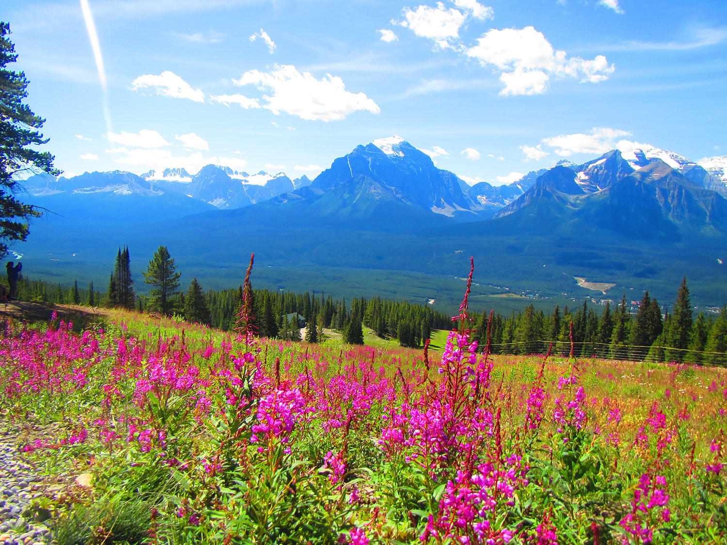 Fireweed in alpine meadow in the rocky mountains