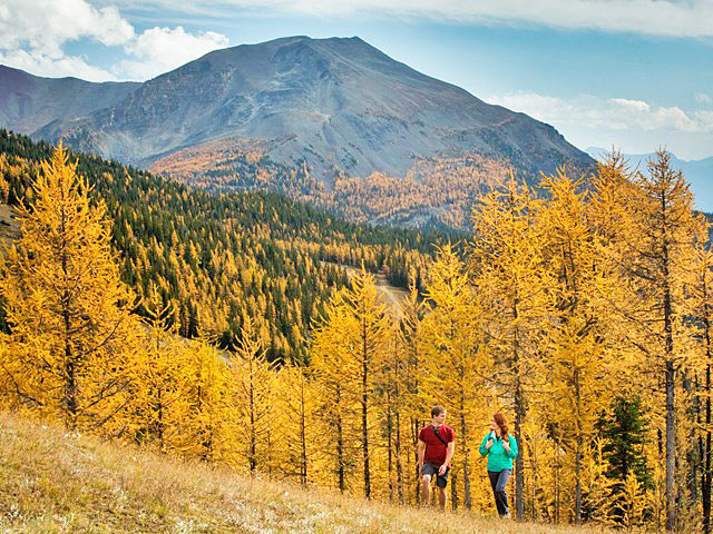 Hikers walking on larch tree covered hill on an autumn day in Lake Louise